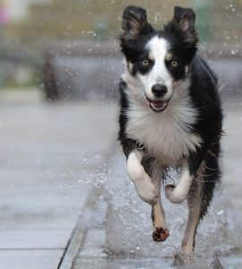 border-collie-696679_1920